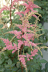 Bressingham Beauty Astilbe (Astilbe x arendsii 'Bressingham Beauty') at Otten Bros. Garden Center