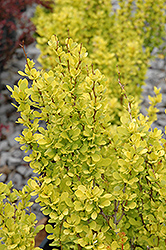 Sunjoy Gold Pillar® Japanese Barberry (Berberis thunbergii 'Maria') at Otten Bros. Garden Center