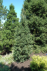 Columnar Norway Spruce (Picea abies 'Cupressina') at Otten Bros. Garden Center