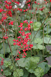 Firefly Coral Bells (Heuchera 'Firefly') at Otten Bros. Garden Center