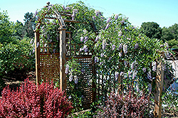 Summer Cascade™ Wisteria (Wisteria macrostachya 'Betty Matthews') at Otten Bros. Garden Center