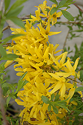 Gold Tide Forsythia (Forsythia x intermedia 'Gold Tide') at Otten Bros. Garden Center