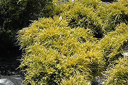 Sea Of Gold Juniper (Juniperus x media 'Sea Of Gold') at Otten Bros. Garden Center