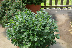 Low Scape® Mound Aronia (Aronia melanocarpa 'UCONNAM165') at Otten Bros. Garden Center