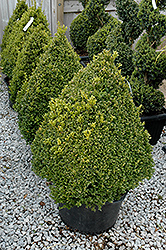 Green Mountain Boxwood (pyramid form) (Buxus 'Green Mountain (pyramid)') at Otten Bros. Garden Center