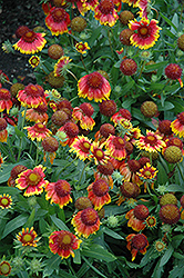 Arizona Sun Blanket Flower (Gaillardia x grandiflora 'Arizona Sun') at Otten Bros. Garden Center