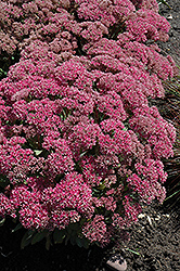 Mr. Goodbud Stonecrop (Sedum 'Mr. Goodbud') at Otten Bros. Garden Center
