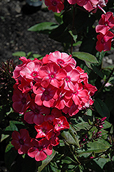 Garden Girls™ Glamour Girl Garden Phlox (Phlox paniculata 'Glamour Girl') at Otten Bros. Garden Center