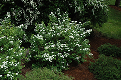 Tor Spirea (Spiraea betulifolia 'Tor') at Otten Bros. Garden Center