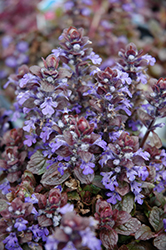 Bronze Beauty Bugleweed (Ajuga reptans 'Bronze Beauty') at Otten Bros. Garden Center