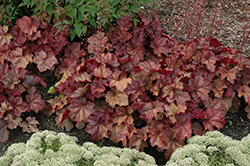 Lava Lamp Coral Bells (Heuchera 'Lava Lamp') at Otten Bros. Garden Center