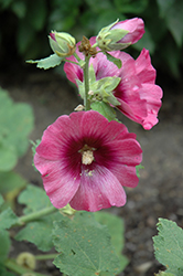 Halo Cerise Hollyhock (Alcea rosea 'Halo Cerise') at Otten Bros. Garden Center