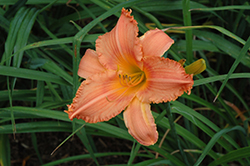 New Tangerine Twist Daylily (Hemerocallis 'New Tangerine Twist') at Otten Bros. Garden Center