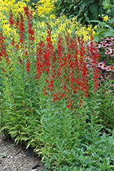 Cardinal Flower (Lobelia cardinalis) at Otten Bros. Garden Center