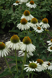 Sombrero® Blanco Coneflower (Echinacea 'Balsomblanc') at Otten Bros. Garden Center