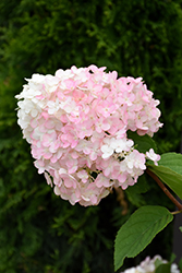 Strawberry Shake Hydrangea (Hydrangea paniculata 'SMHPCW') at Otten Bros. Garden Center