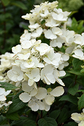 White Diamonds® Hydrangea (Hydrangea paniculata 'HYPMAD I') at Otten Bros. Garden Center