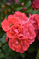 Coral Drift® Rose (Rosa 'Meidrifora') at Otten Bros. Garden Center